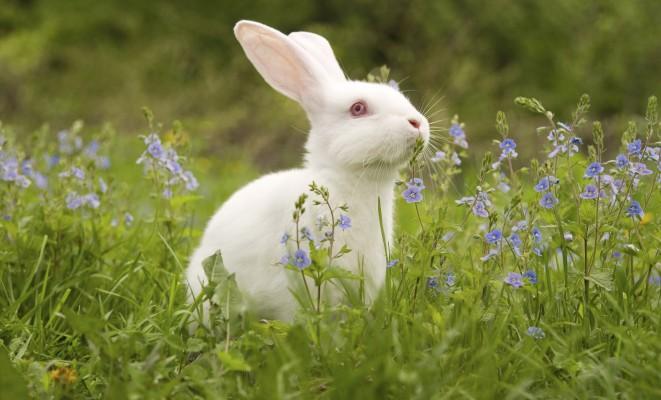 vit_kanin